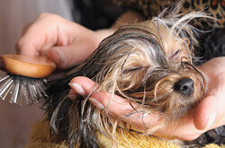 Dog Getting Hair Brushed And Groomed